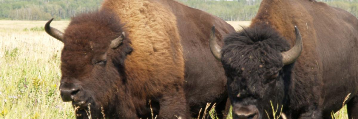 Two bison in the Bison Range in Riding Mountain National Park 3 by Craig Bennett, licence CC:BY-NC. Source [Flickr]