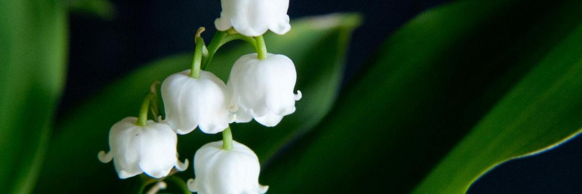 Muguet par Magali M, licence CC : BY-NC-ND. Source [Flickr]