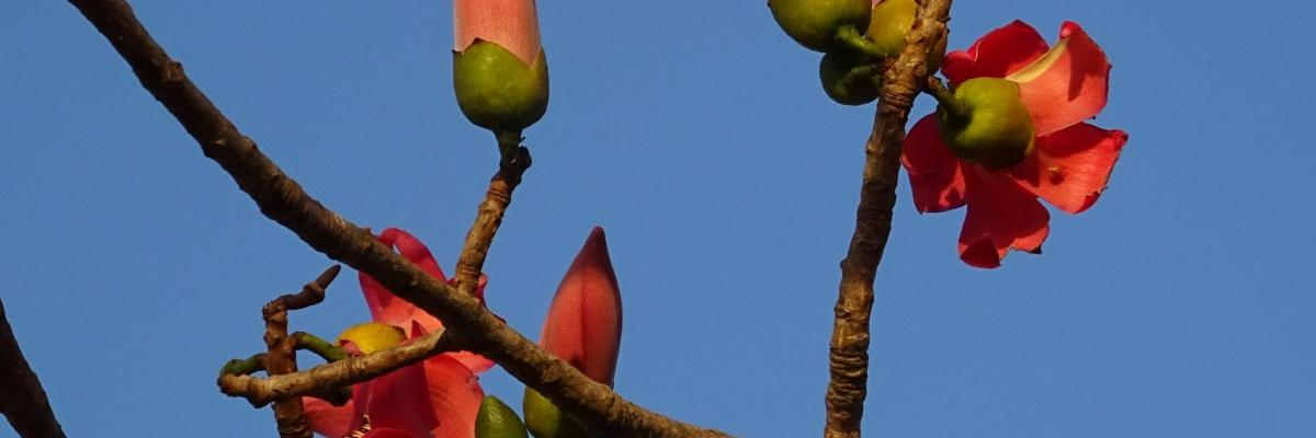Bombax Ceiba, public domain. Source [pxhere]