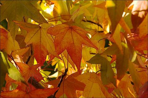 Autumn Leaves 2 by Steve Crane, licence CC:BY-NC-SA. Source [Flick'r]